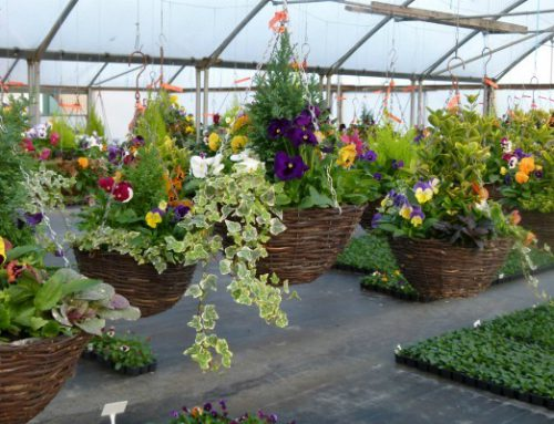 Autumn/Winter Hanging Baskets…orders are now being taken!