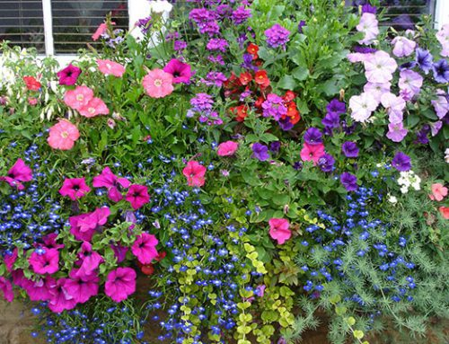 Hanging Basket Orders Deadline: 21st April