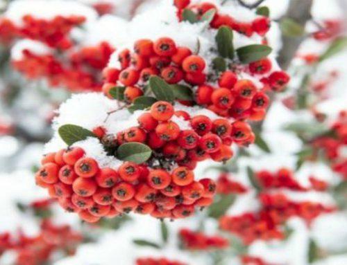 Berries in Your Garden