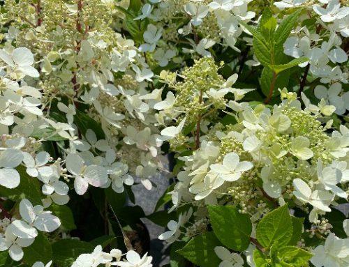 Hydrangea Paniculata…
